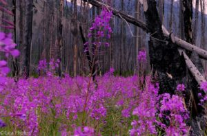 Fireweed-in-the-Forest-300x198.jpg